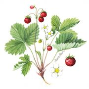 Lunchservett 3-lagers Wild Strawberry 33x33cm