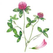 Lunchservett 3-lagers Red Clover 33x33cm