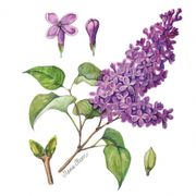 Lunchservett 3-lagers Lilac 33x33cm